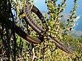 Chamaesaura anguina anguina 15448395.jpg