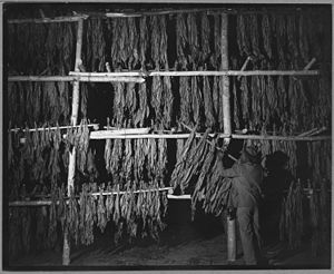 Hughesville, Maryland - Tobacco being dried in one of the Hughesville warehouses, 1941