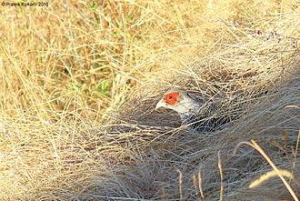 Cheer pheasant - Cheer Pheasant (male) at Pangot, Nainital, Uttarakhand, India