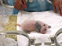 Un bébé panda dans un incubateur