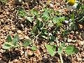 Chenopodium vulvaria plant (6).jpg