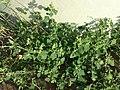 Chenopodium vulvaria sl11.jpg