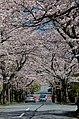 Cherry blossoms - panoramio (1).jpg