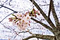 Cherry blossoms at Matsuyama Castle, Ehime Prefecture; April 2017 (13).jpg
