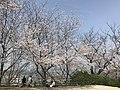 Cherry blossoms in Sasayama Park 20.jpg