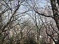 Cherry blossoms in Sasayama Park 9.jpg