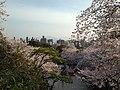 Cherry blossoms in front of torii of Terumo Shrine in Nishi Park 7.JPG