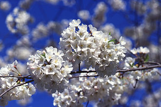 Kigo - Cherry blossoms (sakura), often simply called blossoms (hana) are a common spring kigo.
