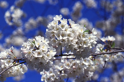 fleur du prunus