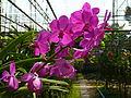Chiang Mai Orchids P1110380.JPG