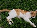 Chiang Mai kitties - 2017-07-09 (005).jpg