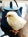 Chick 05a.tif