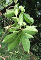 Chionanthus ramiflorus 35.jpg