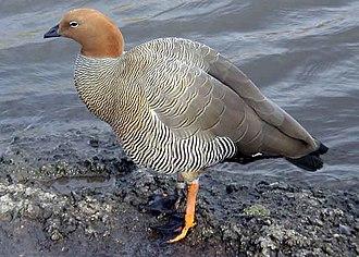 Sheldgoose - Ruddy-headed goose, Chloephaga rubidiceps