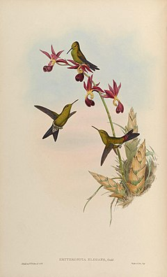 Chlorostilbon elegans, Illustration von John Gould