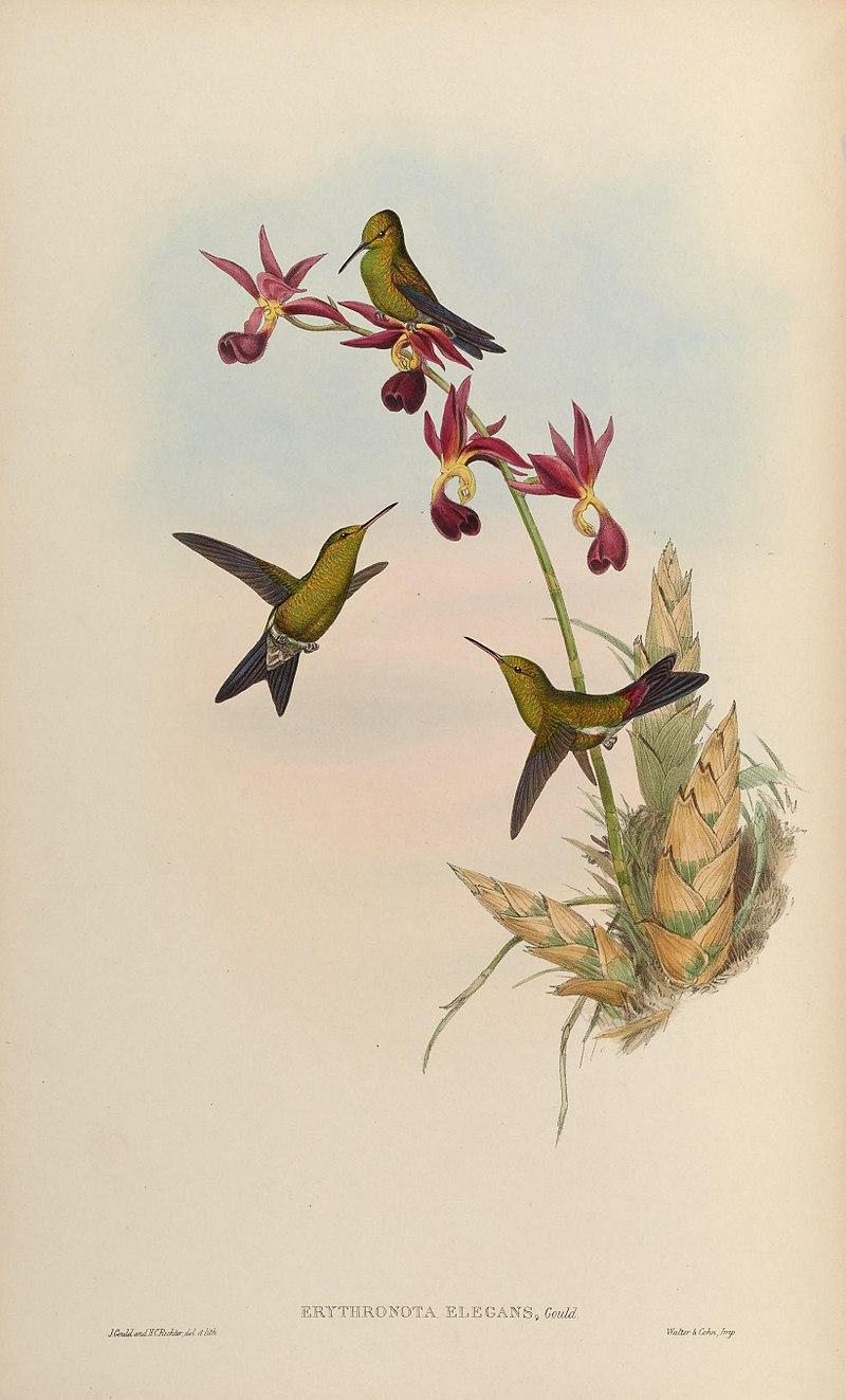 Colibrí esmeralda de Gould