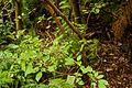 Christchurch Botanic Gardens, New Zealand section, Fuchsia excorticata 2016-02-04.jpg