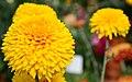 Chrysanthemum (10426231955).jpg