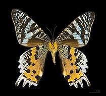 Chrysiridia rhipheus MHNT ventre.jpg