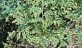 Cicer arietinum HabitusFruitsFlowers BotGardBln0906.jpg