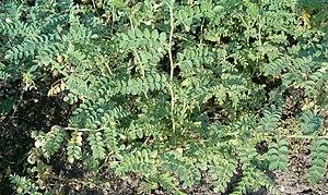 Cicer - Image: Cicer arietinum Habitus Fruits Flowers Bot Gard Bln 0906