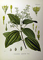 Cinnamomum zeylanicum (Köhler).jpg