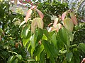 Cinnamomum zeylanicum 2c.JPG