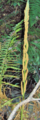 Cinnamon-Fern-(fertile) (5614331165).png