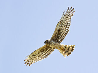 Northern harrier - Adult female flying in California