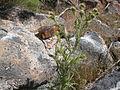 Cirsium canovirens (C. subniveum) (4045112979).jpg
