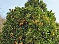 Citrus sinensis. Naranxal.jpg