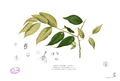 Cleistanthus orgyialis Blanco2.353.png