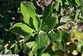 Clethra alnifolia 24zz.jpg
