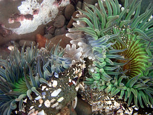 Competition (biology) - Sea anemones compete for the territory in tide pools
