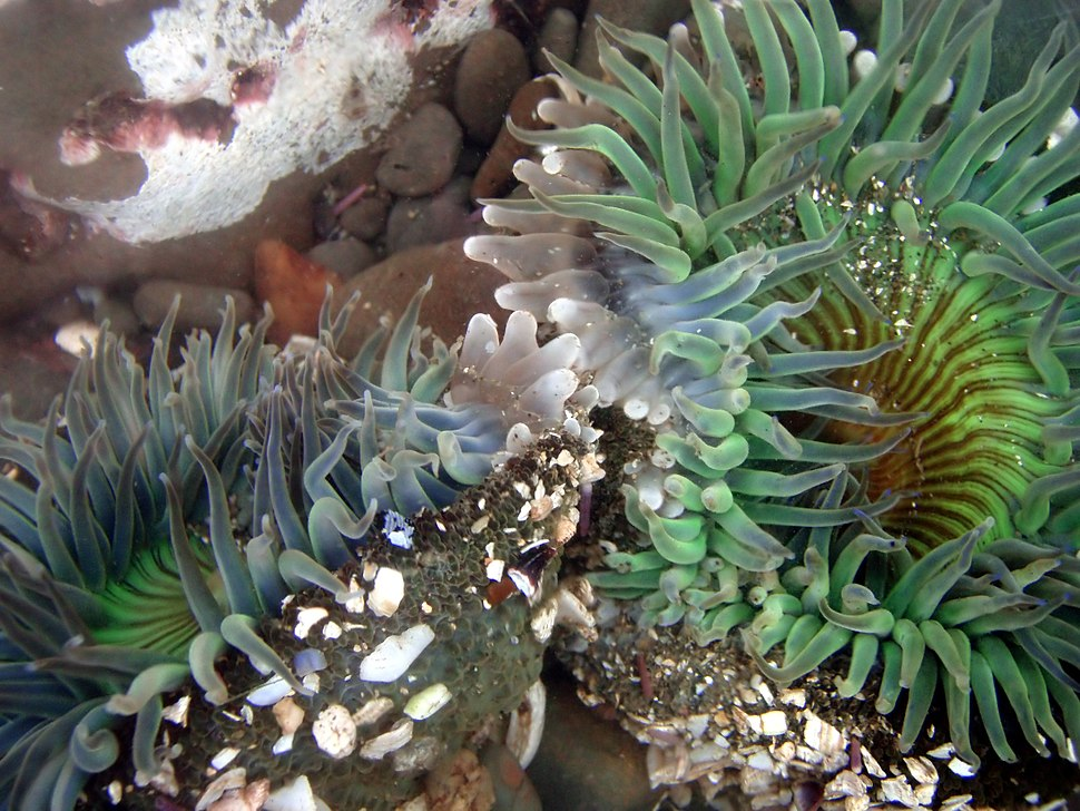Clone war of sea anemones 2-17-08-2
