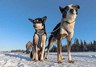 Alaskan husky - Close up on two Alaskan huskies