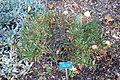 Cneorum tricoccon - San Luis Obispo Botanical Garden - DSC05874.JPG