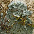 Coccocarpia palmicola - Flickr - pellaea (1).jpg
