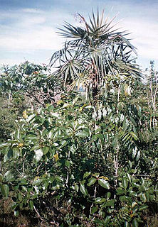 <i>Coccothrinax clarensis</i> species of plant