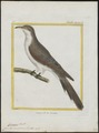 Coccyzus americanus - 1700-1880 - Print - Iconographia Zoologica - Special Collections University of Amsterdam - UBA01 IZ18800195.tif