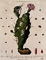 Cochineal cactus (Nopalea cochenillifera) with insects that Wellcome V0044299.jpg