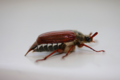 Cockchafer beetle may bug (27357869257).png