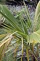 Cocos nucifera 42zz.jpg