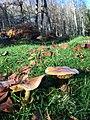 Cogumelos do Geres (23285871575).jpg