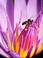 Collecting Pollen.jpg