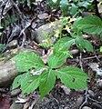 Collinsonia canadensis.jpg