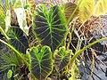Colocasia esculenta Illustrio 1zz.jpg
