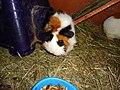 Colourful guinea pigs domesticated.jpg