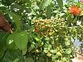 Combretum constrictum - Powderpuff Combretum 2014 (4).jpg