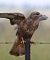 Common Buzzard (Steppe Buzzard), Buteo buteo vulpinus, on a fence along the R42, Gauteng, South Africa (32070092613).jpg